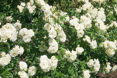 White Roses, In The Garden ...